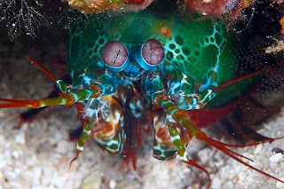 mantis shrimp facts