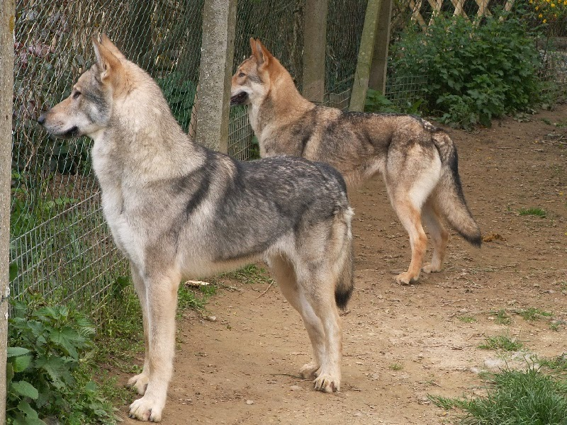 zabelieth: 3 Dog Breeds that Look Just Like Wolves