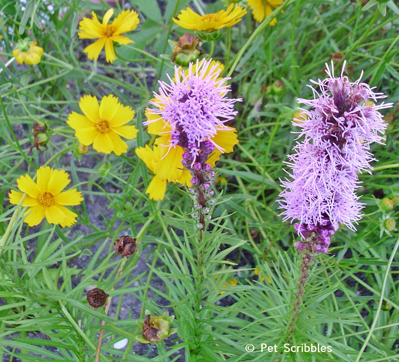 Summer garden blooms up close: Purple Liatris and Yellow Coreopsis!  (www.PetScribbles.com)
