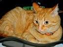 Gato ronron