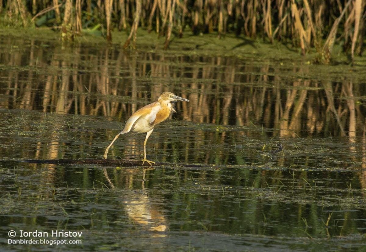 Squacco Heron photography, copyright Iordan Hristov