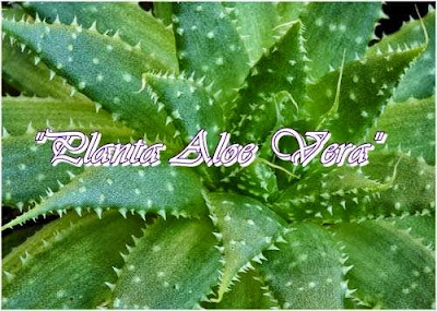 Abundancia amor y plenitud plantas sanadoras magicas - Dan mala suerte las hortensias ...