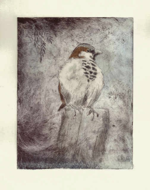 House sparrow drypoint with watercolour