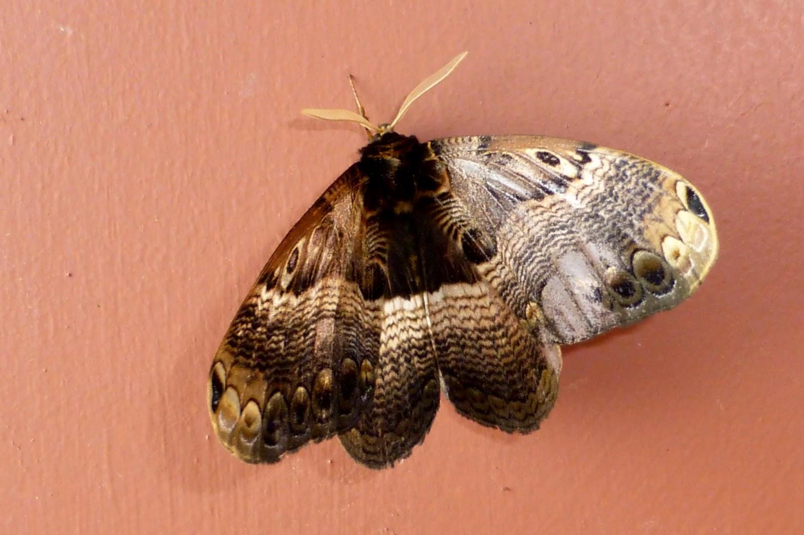 Dactyloceras sp.