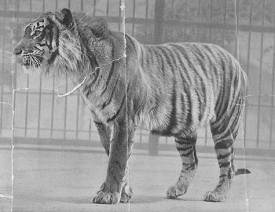 Most Amazing Recently Extinct Animals Javan Tiger
