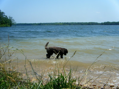 Alfie's wading in the shallows, tail wagging, as he tries to grab something out of the water