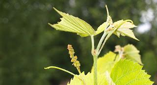 Stell av drueplanter