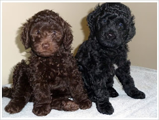 Barbet Puppies