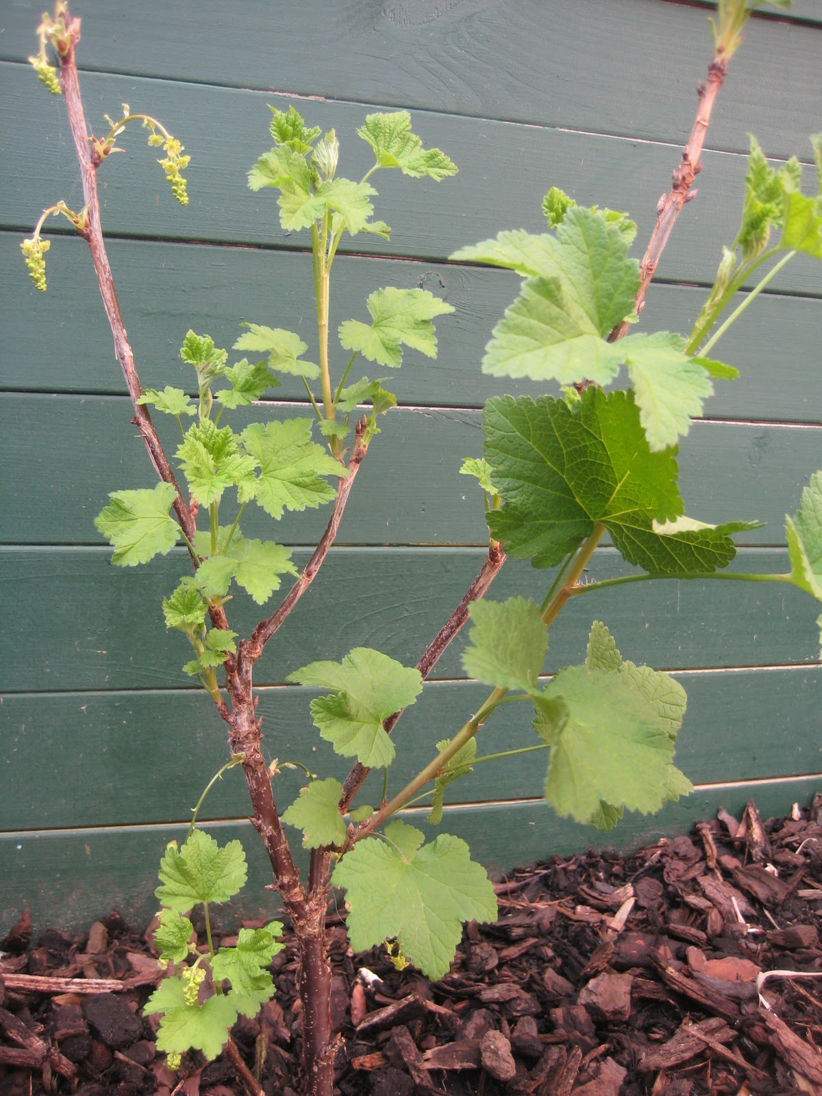 Our Green Haven White Currant