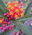 Asclepias curassavica-Bloodflower