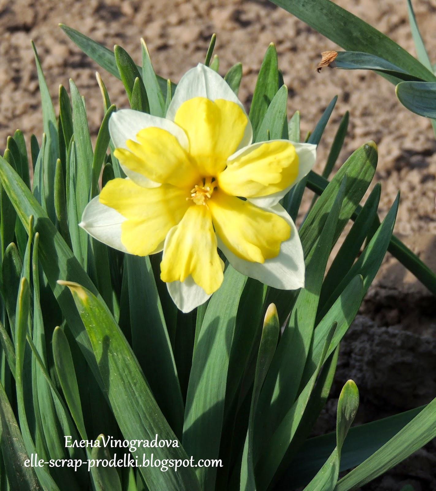 ЕленаVinogradova. Цветы нашего сада #11
