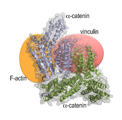 Scientists from Scripps Florida have solved a puzzle in cellular biology with the structure of a protein called α-catenin.
