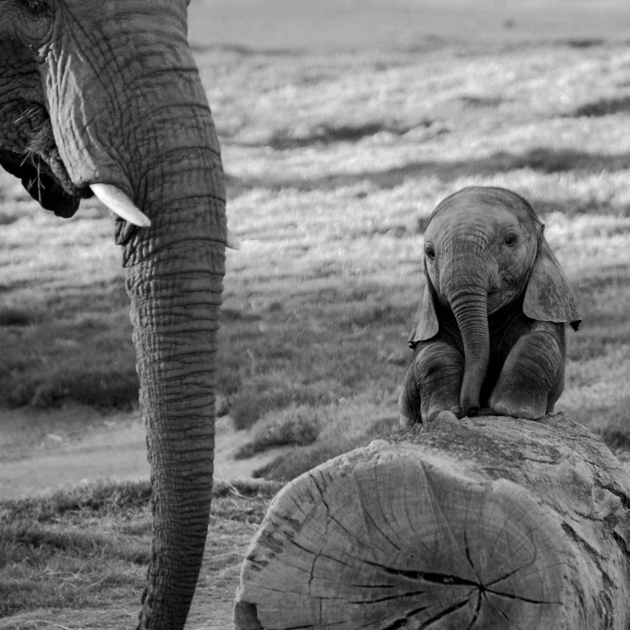 Funny animals of the week - 7 February 2014 (40 pics), back and white photo of baby elephant