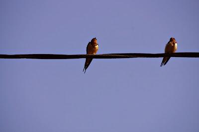 two barn swallows