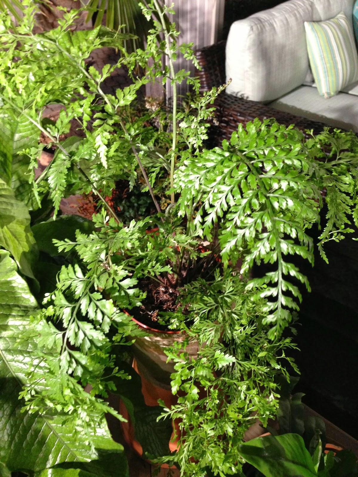 Chris h olsen online blog delicate indoor ferns that are for Low care plants