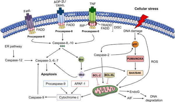 an overview of the apoptosis pathway in a cell Review article programmed cell death pathways in cancer: a review of apoptosis, autophagy and programmed necrosis.