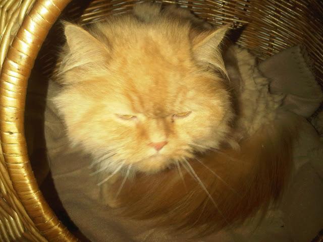 Martha - Gemeine Perserkatze im Katzenkorb
