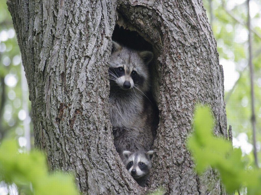 Raccoon T Raccoon, Intelligent T...