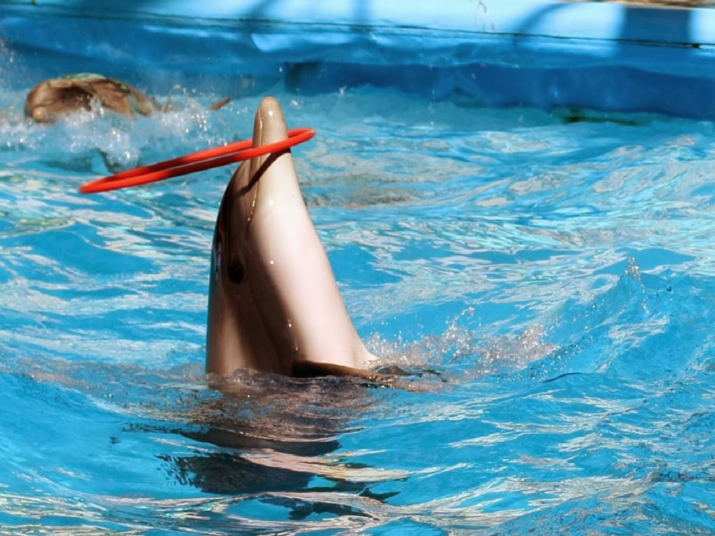 """<img src=""""http://2.bp.blogspot.com/-2hnMLrmLxRI/UtqVsbDHvkI/AAAAAAAAIxs/9dr_JjgM26k/s1600/dolphins-hoop-playing.jpeg"""" alt=""""dolphins hoop playing"""" />"""