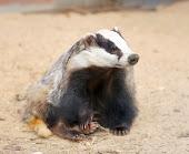 Friends call me Badger
