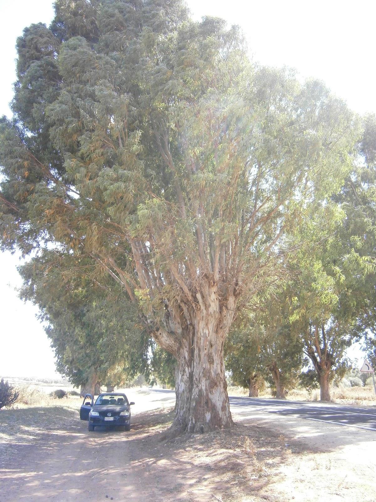 plantes et fleurs de mon jardin photo d un arbre d eucalyptus aux cot s d une voiture citadine. Black Bedroom Furniture Sets. Home Design Ideas