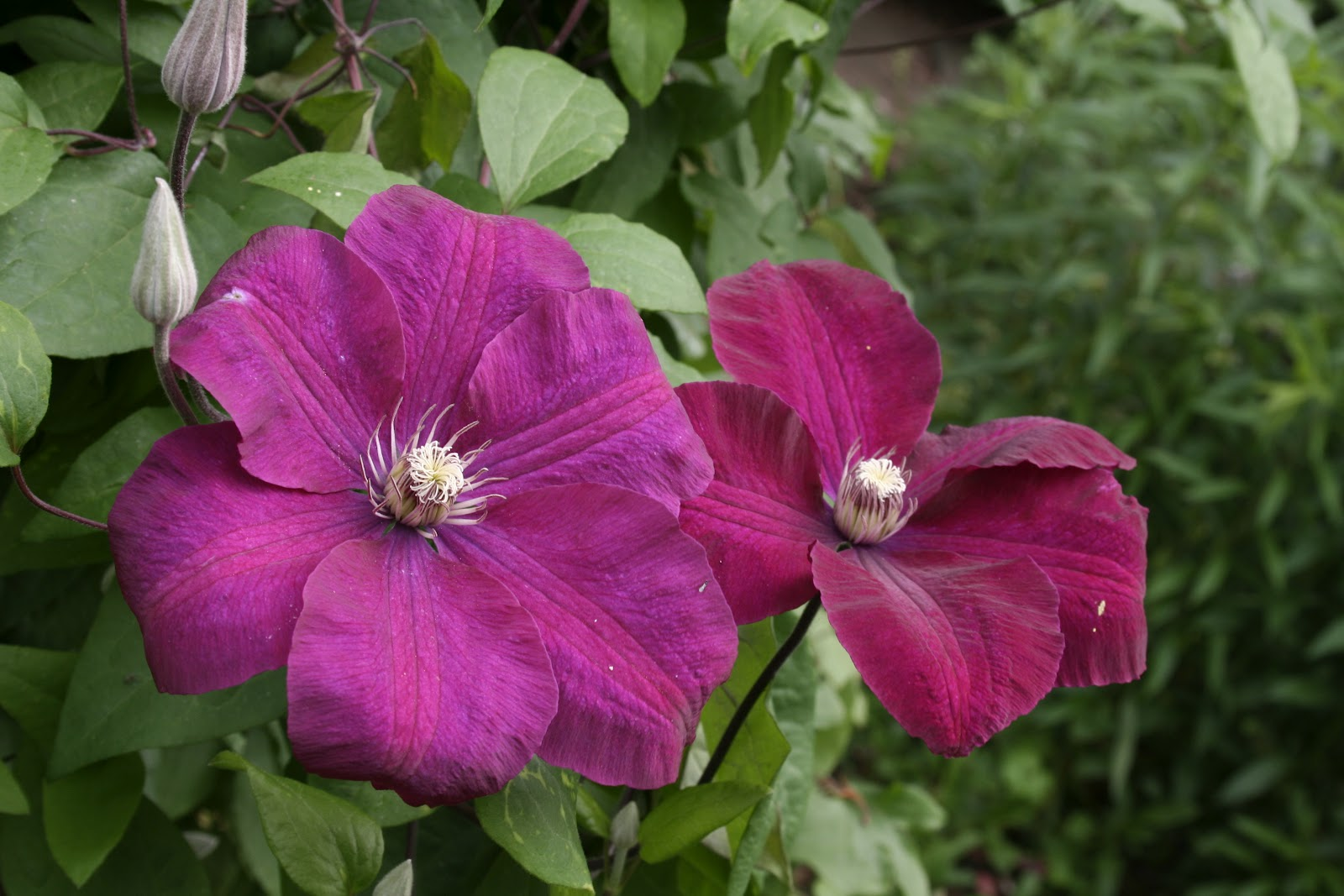 our japanese garden clematis rouge cardinal. Black Bedroom Furniture Sets. Home Design Ideas