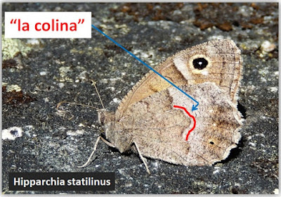 Una colina se dibuja en Hipparchia statilinus
