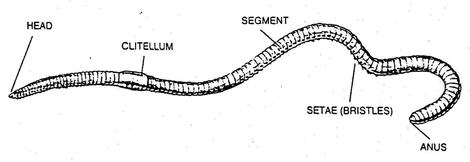Draw The Diagram Of Earthworm - Circuit Connection Diagram •