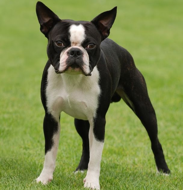 boston terrier the life of animals