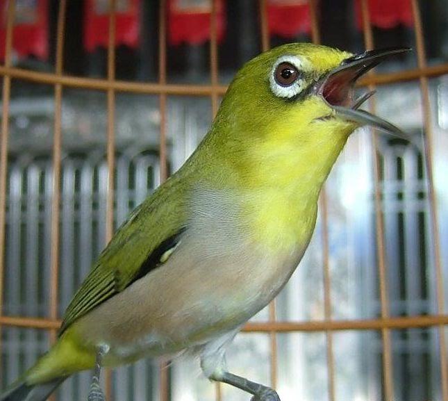 cara merawat burung pleci biar cepat gacor volcano