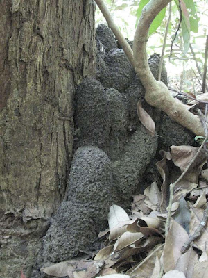 Nest of Dicuspiditermes nemorosus