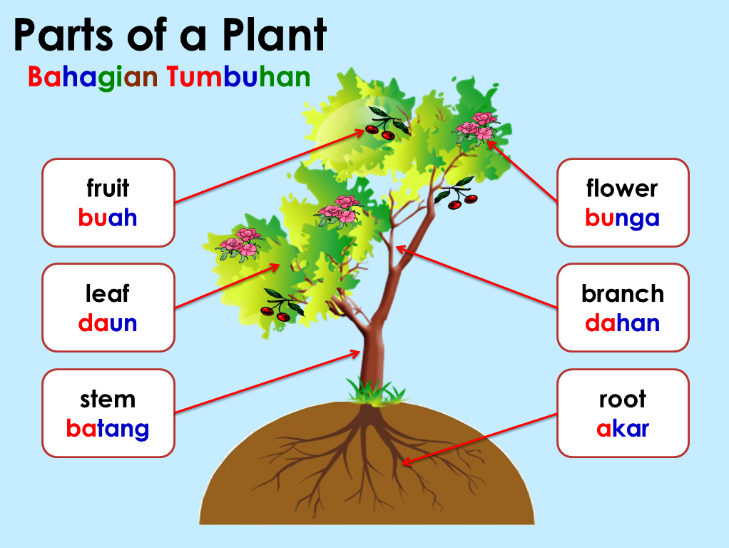 Azzahra kids development centre preschool programme ages 4 6 these parts are root stem branch leaf flower and fruit tumbuhan terdiri daripada banyak bahagian iaitu akar batang dahan daun bunga dan buah ccuart Choice Image