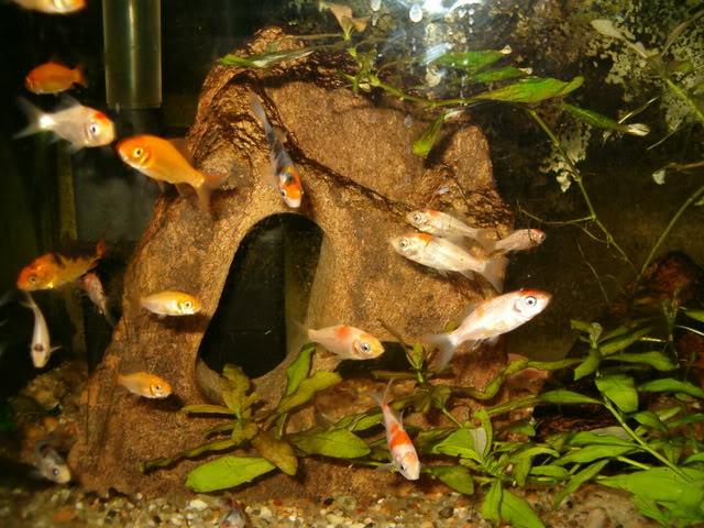 Animais de cria o ornamentais carpa japonesa nishikigoi for Como criar peces koi