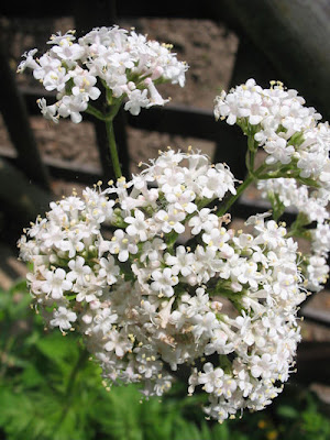 How to Grow Valerian