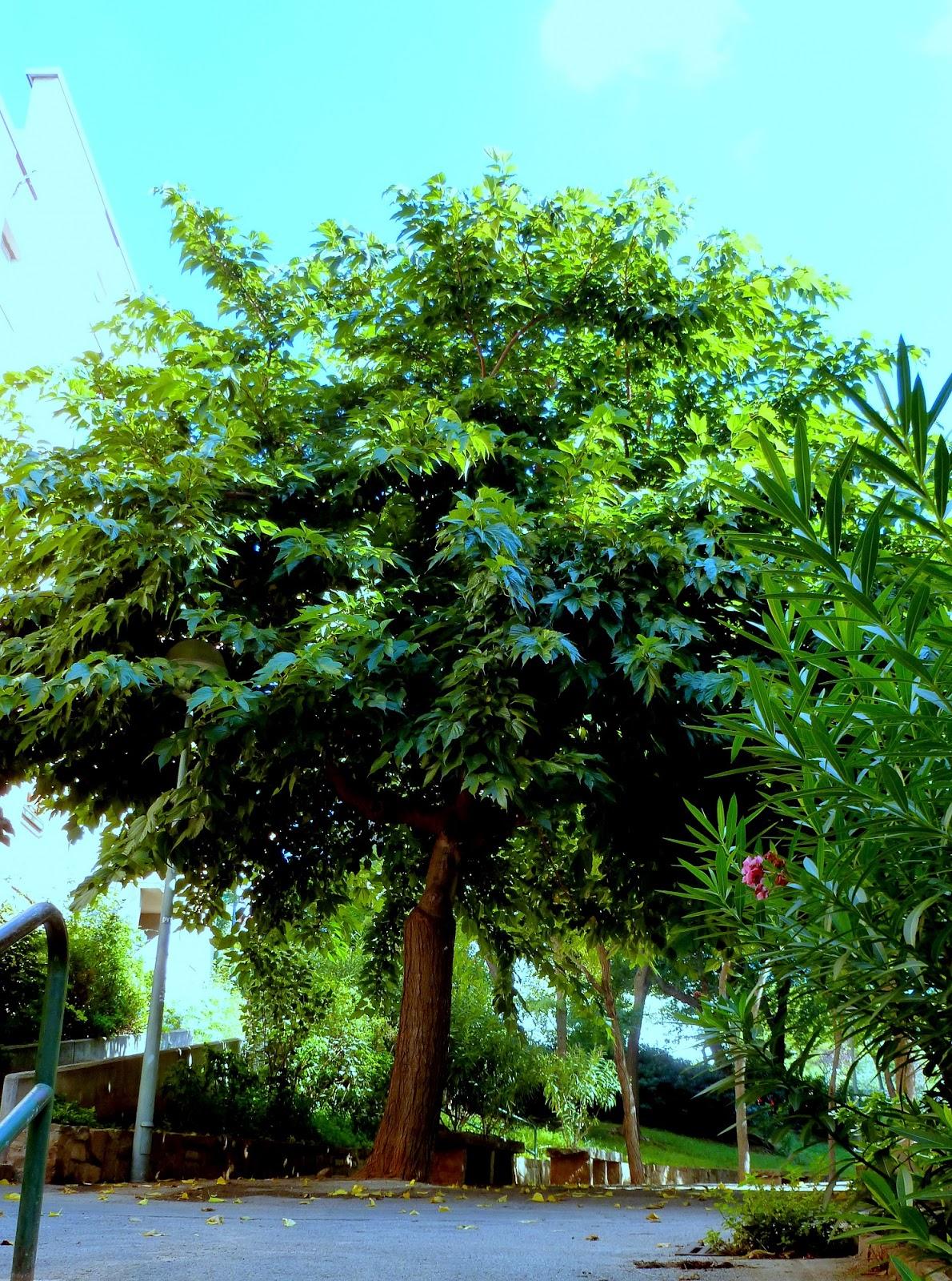 Rboles con alma morera negra morus nigra for Arboles de jardin para sombra