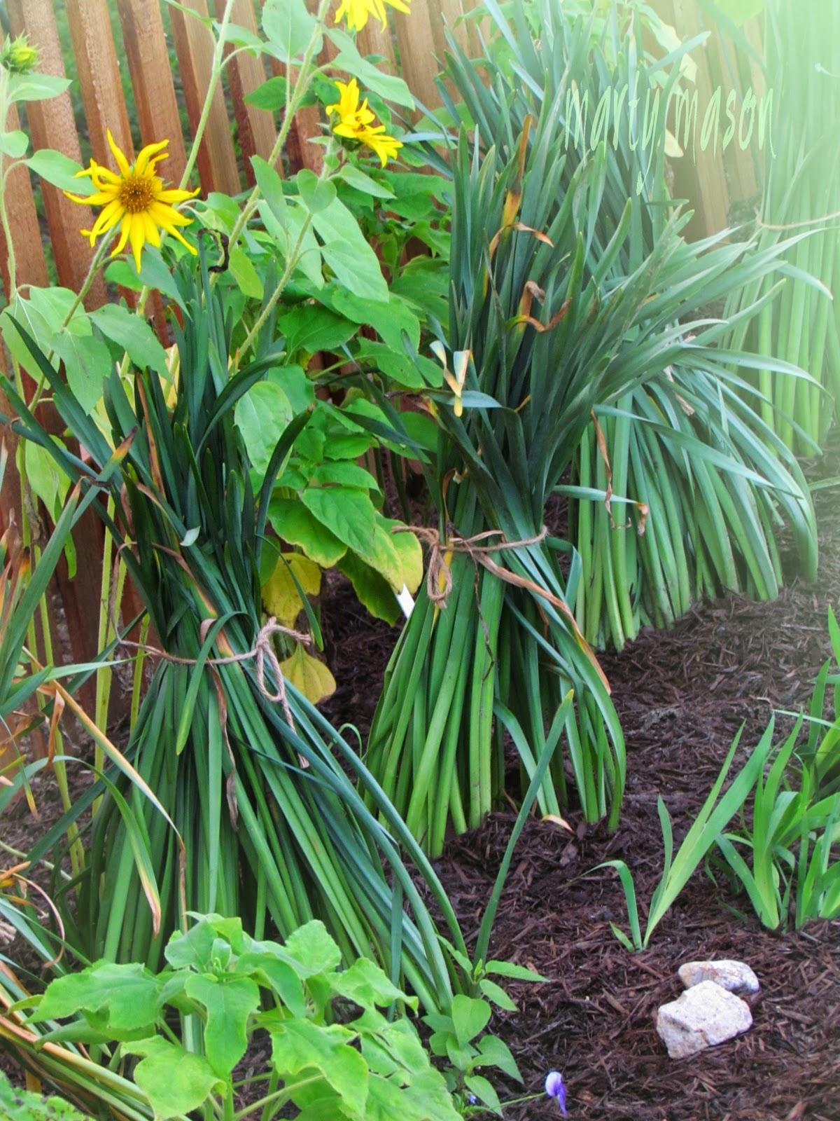 Sunflower teepees