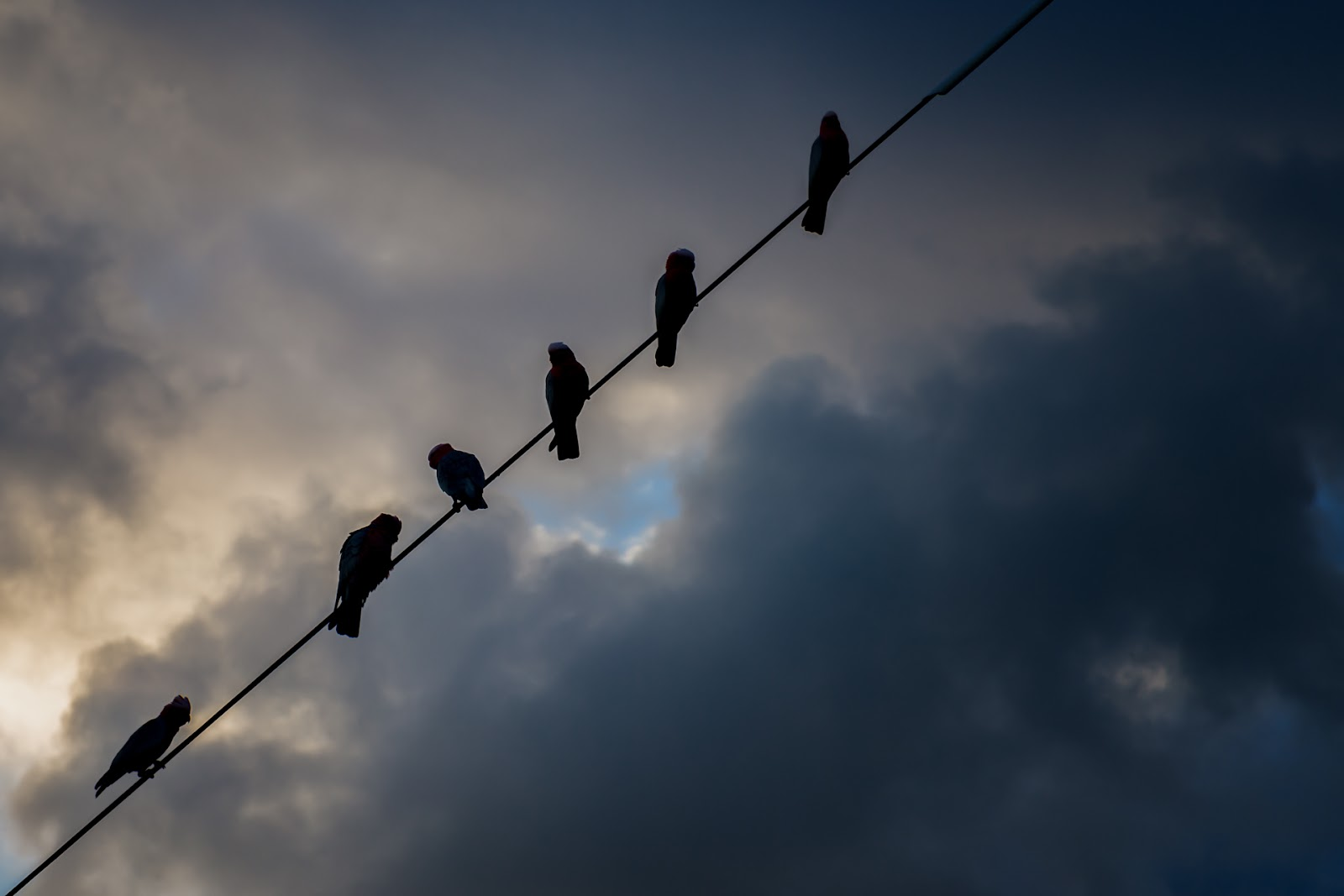 galahs sitting on a cable