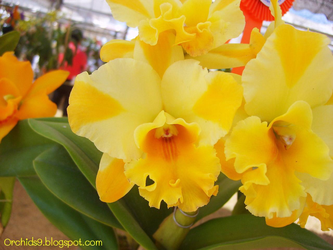 Orchids flowers pictures bulbophyllum vanda cattleya for Orchidea cattleya