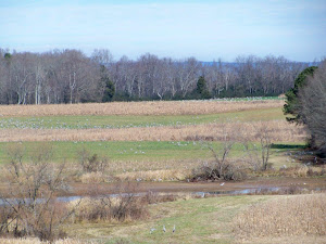 Sandhill Cranes Jan 2013