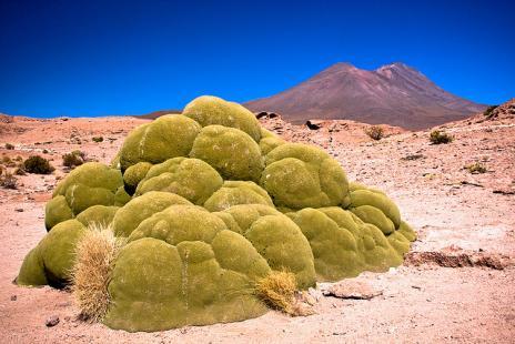 Yareta: La planta de 3.000 años de antigüedad que parece algo fuera de este mundo