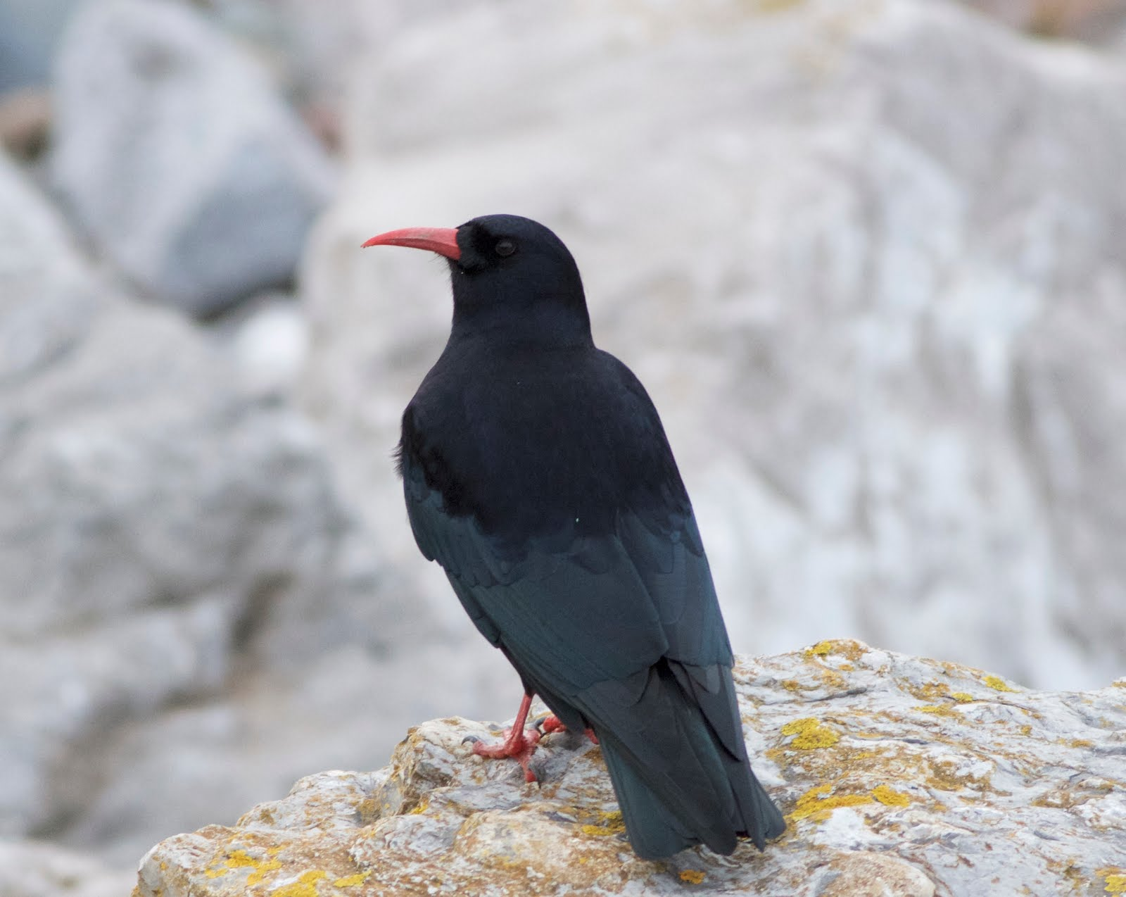 CHOUGH-CALDY-17TH OCTOBER 2018