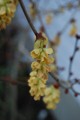 Corylopsis spicata