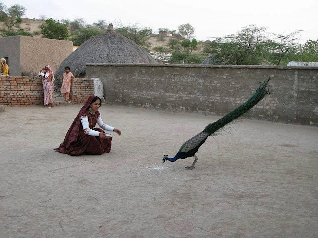 Feeding Peacock in Sindh