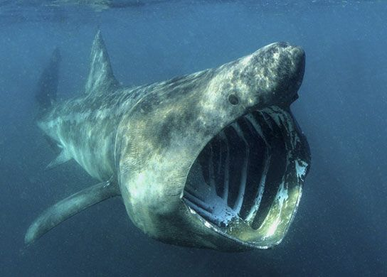10 Spesies Hiu yang Hampir Punah di Dunia: The Basking Shark