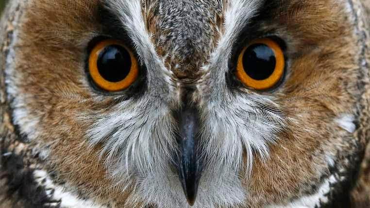 The Owl Terror