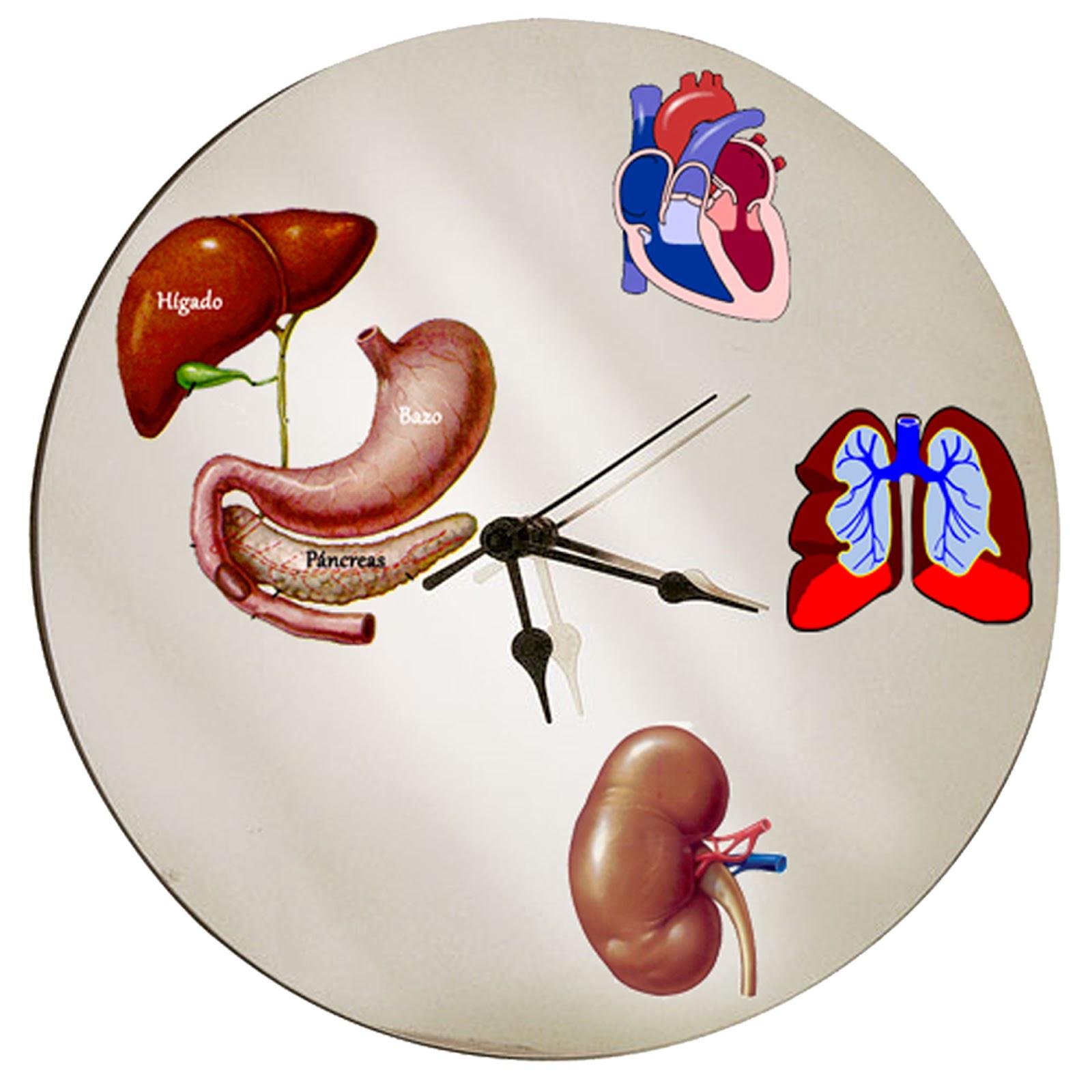 Encontrando tu bienestar: El Horario de nuestro órganos vitales