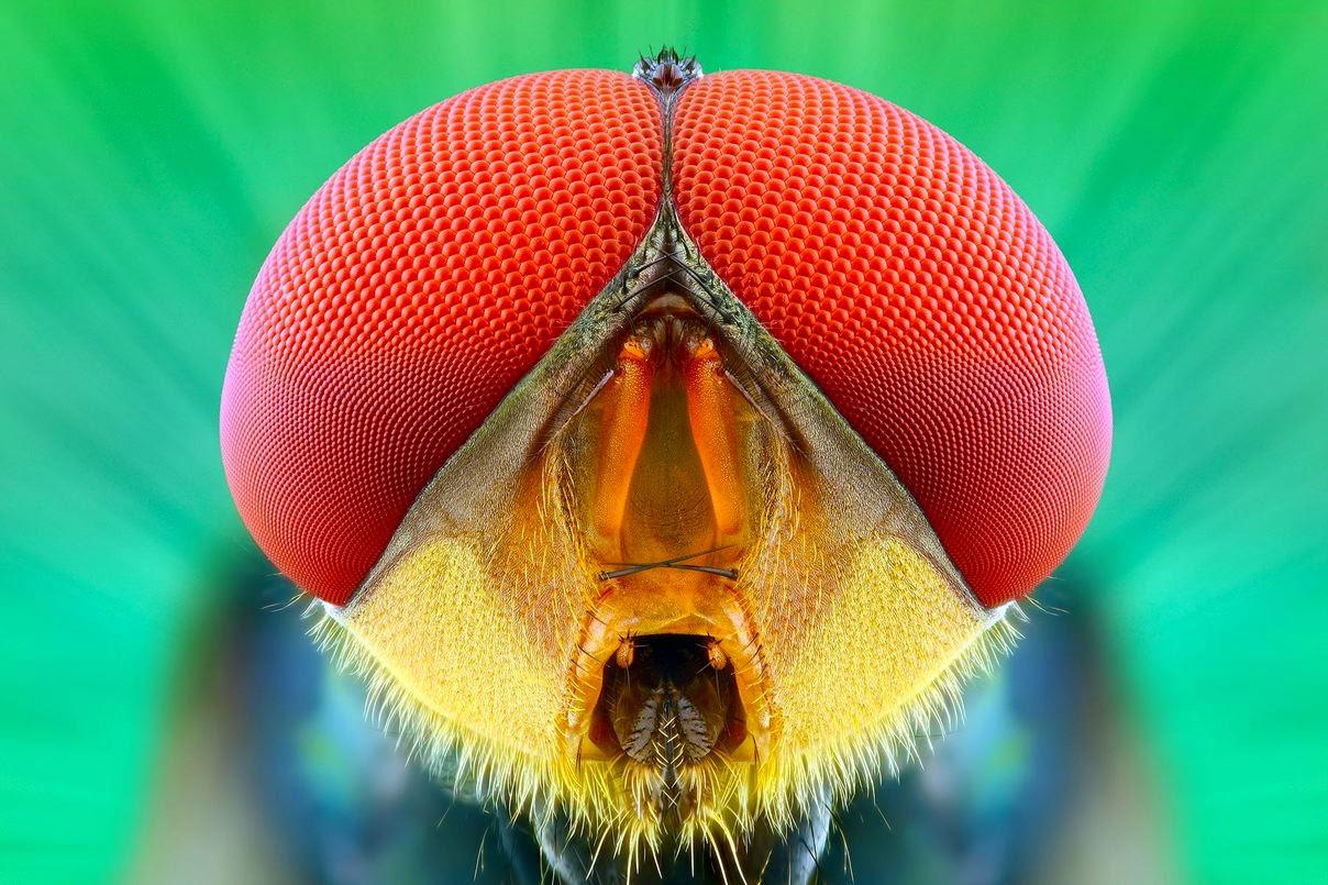 Удивительные макрофотографии насекомых (16 фото)