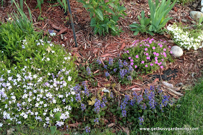 Creeping phlox and ajuga