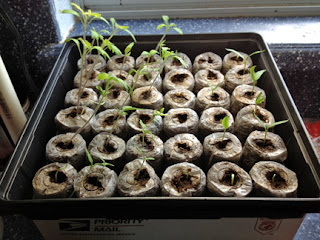 Growing tomatoes and peppers from seed