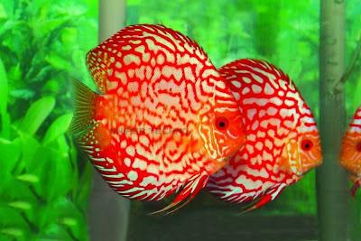 Gambar Ikan Hias